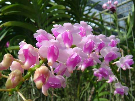 Aerides quinquevulnera var. calayana