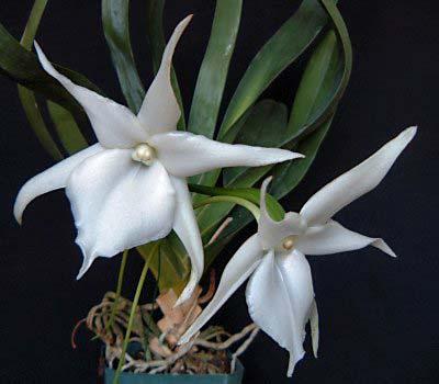 Angraecum Lemforde White Beauty