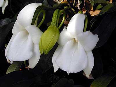 Angraecum magdalenae