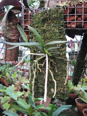 Angraecum rutenbergianum