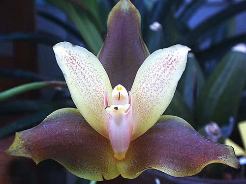 Anguloa clowesii x Lycaste macrophylla