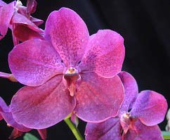 Ascocenda Kultana Brown x Vanda Patcharee's Delight