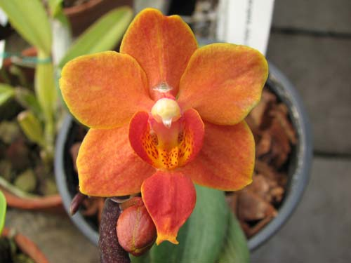 Asconopsis Jiaho's Orange