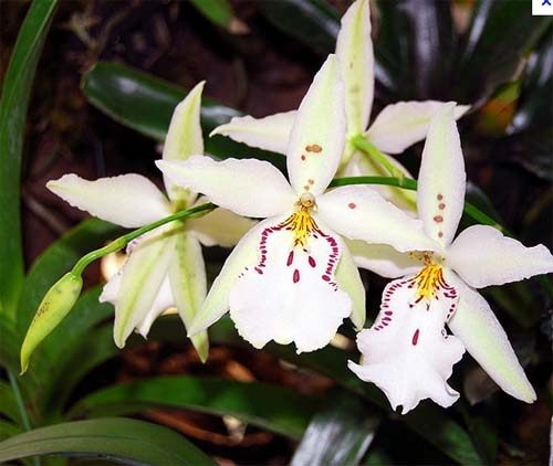 Beallara Tropic Lily 'Ice Palace'