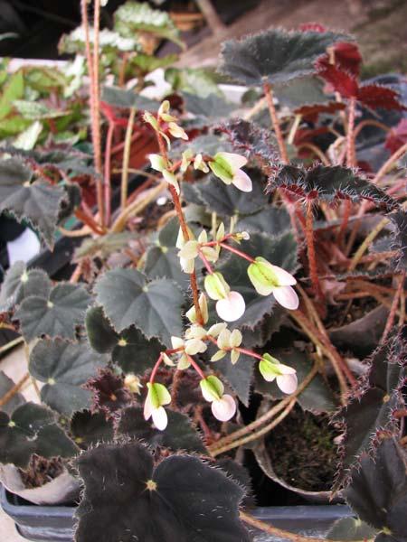 Begonia boweri 'Black Velvet'