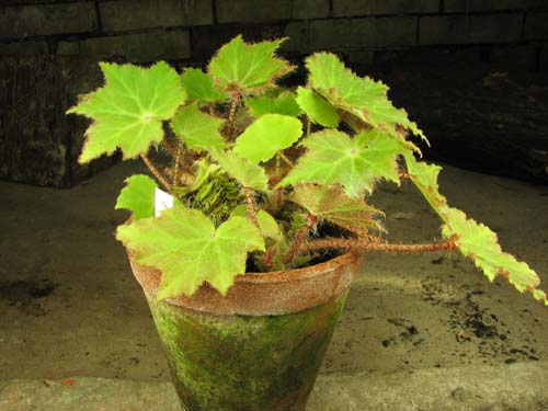 Begonia ricinifolia 'Immense'