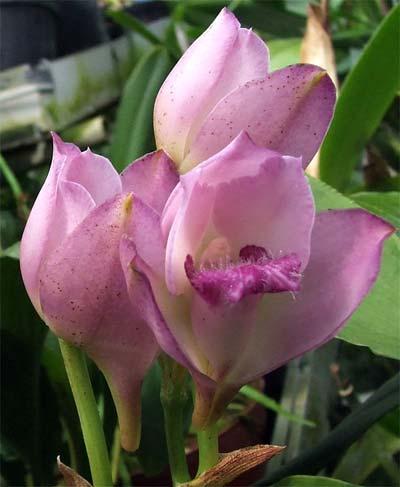 Bifrenaria thyrianthina