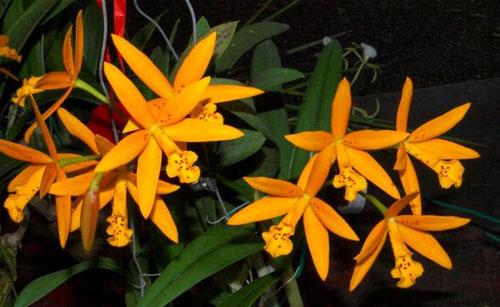 Brassavola flagellaris x Potinara Esther Costa 'Orange Fantasy'