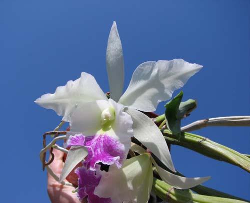 Brassavola fragrans x Laeliocattleya Elizabeth Hearn