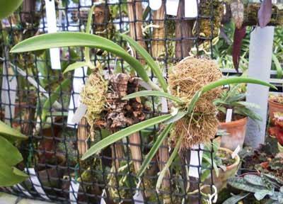 Brassavola Jimminey Cricket Super Bug