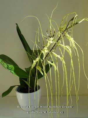 Brassia Enteral Wind 'Summer Dream'