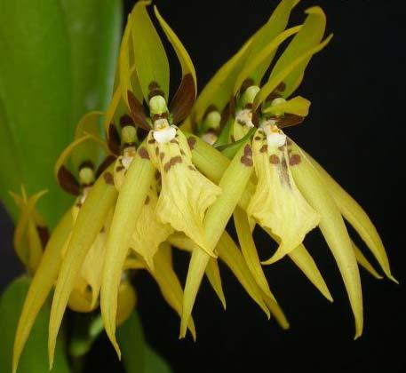 Brassia wageneri