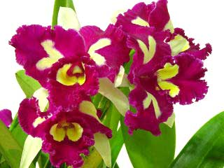 Brassolaeliocattleya Chinese Beauty 'Orchid Queen'