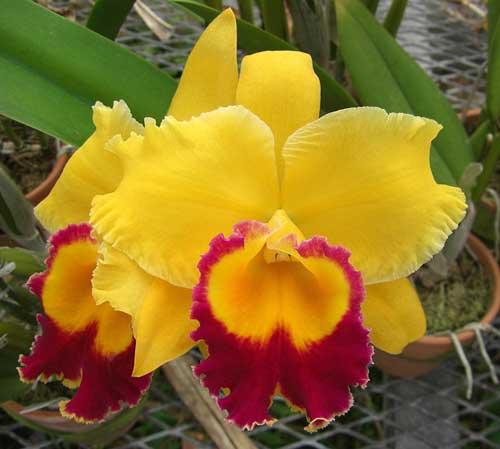 Brassolaeliocattleya Chyong Guu Chaffinch 'Ta-Hsin' (Yellow Ball x Sunset Bay)