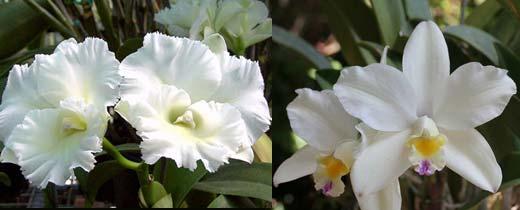 Brassolaeliocattleya Island Charm 'Sugar' x Laeliocattleya Orglades Glow 'La Neige'
