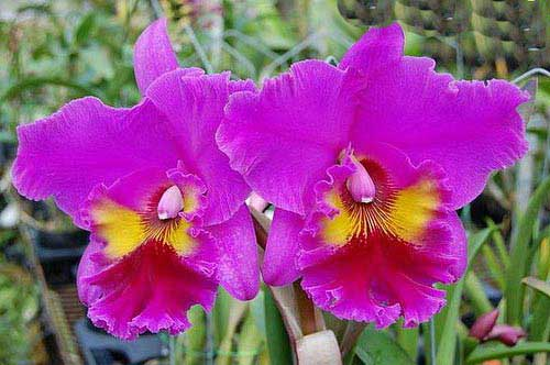 Brassolaeliocattleya King of Taiwan