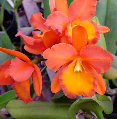 Brassolaeliocattleya Orange Show 'Cloud Forest' (Ctt. Spring Show x Rth. Orange Nuggett)