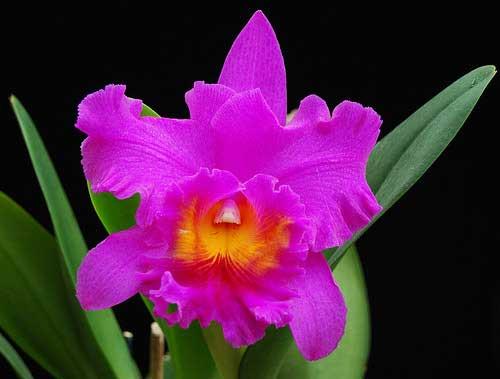 Brassolaeliocattleya Pink Empress 'Ju-Sen' (Bc. Mount Hood x Blc. Bryce Canyon)
