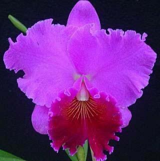Brassolaeliocattleya Sunstates Peak Down (Mem.Crispin Rosales x Bonanza Queen)