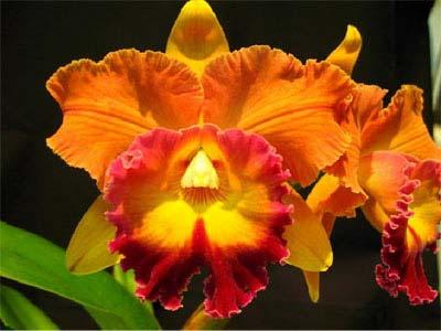 Brassolaeliocattleya Taiwan Ruby 'Magic'