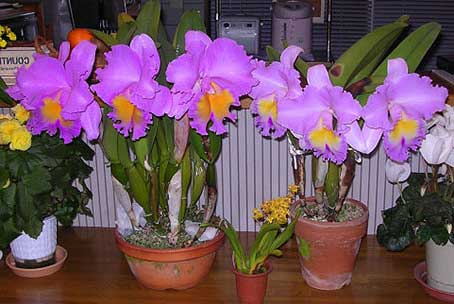 Brassolaeliocattleya Triumphal Coronation 'Seto' (Laeliocattleya Drumbeat x Brassolaeliocattleya Pamela Hetherington)