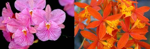 Broughtonia sanguinea x Epidendrum radicans