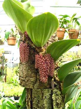 Bulbophyllum beccarii