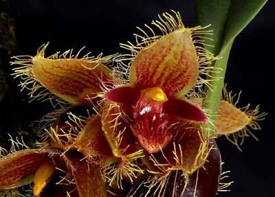 Bulbophyllum dayanum