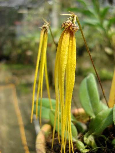 Bulbophyllum jacobsonii flava