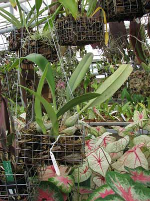 Bulbophyllum lewisense