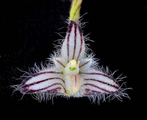 Bulbophyllum lindleyanum