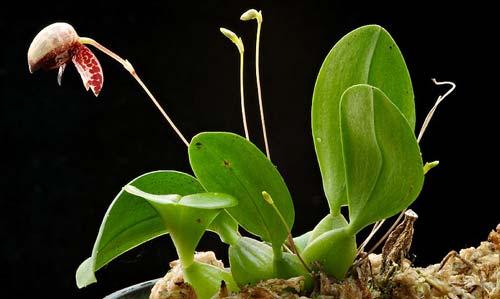 Bulbophyllum maquilingense