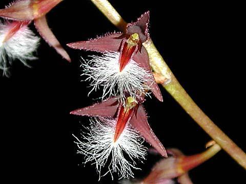 Bulbophyllum miniatum
