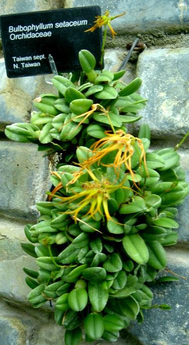 Bulbophyllum setaceum