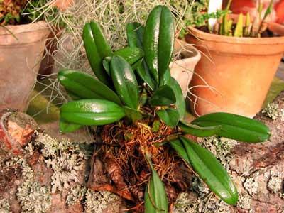 Bulbophyllum viridiflavum