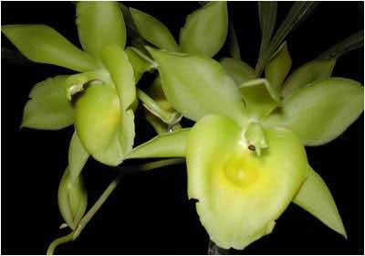 Catanoches Yellow Bird 'Jumbo Orchids'