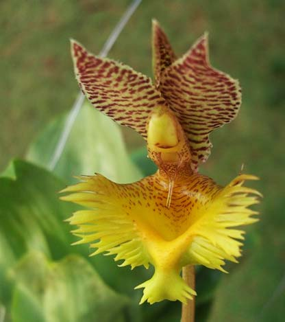 Catasetum fimbriatum (amarelo x bronze)