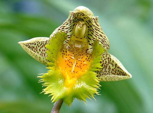 Catasetum fimbriatum 'Golden Horizon'