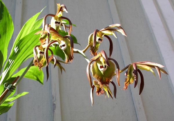 Catasetum incurvum