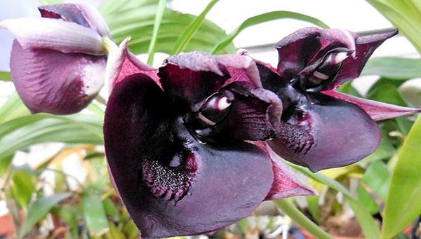Catasetum (John Burchett x Suzan Fuchs) x Orchidglade