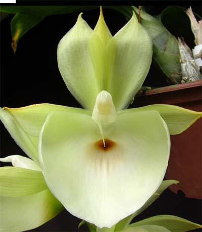 Catasetum (pileatum x Durval Ferreira)