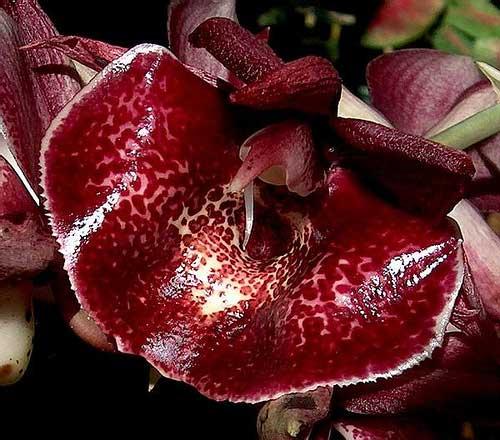 Catasetum (pileatum x Orchidglade)