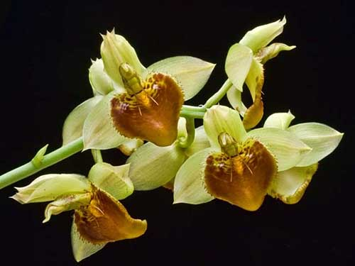 Catasetum (spitzii x spitzii strips)