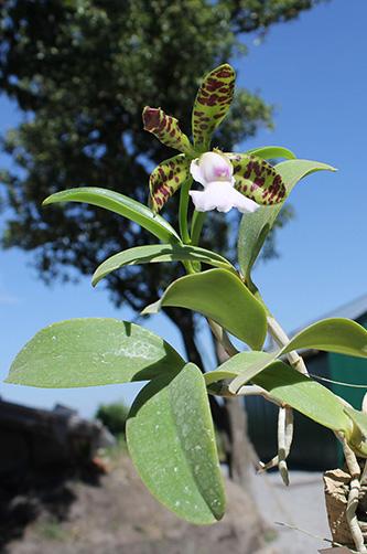 Cattleya aclandiae albina maculata