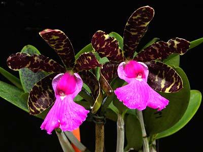 Cattleya aclandiae 'Itaparica' x Cattleya aclandiae 'Mulatinha'