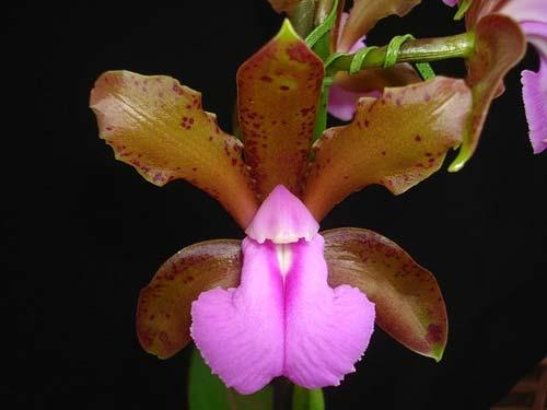 Cattleya bicolor chocolate XXX x SELF