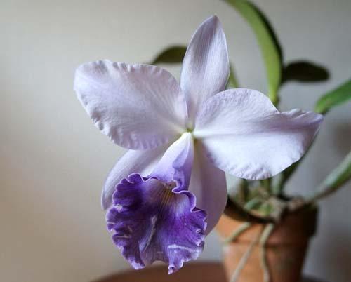 Cattleya Blue Velvet 'Surprise' (C. Kazuko Takamatsu x C. Mini Purple)