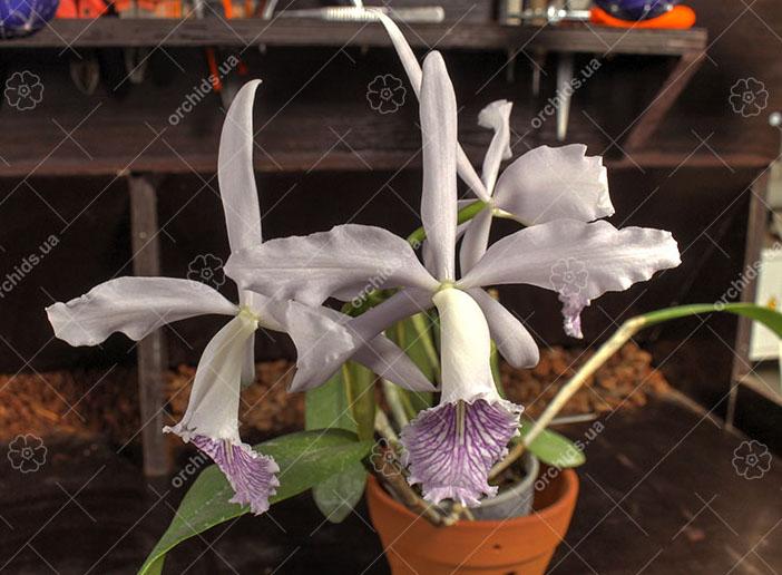 Cattleya Dominiana (intermedia var. coerulea x maxima var. coerulea 'Hector')