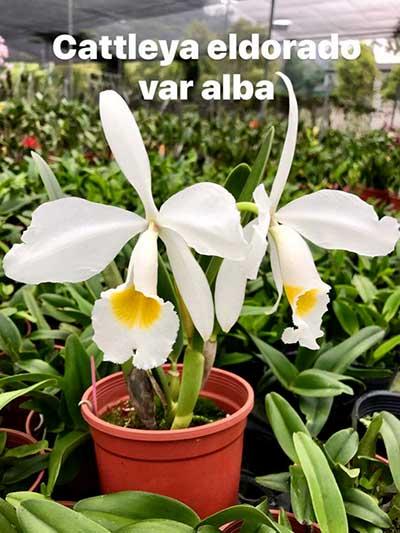 Cattleya eldorado alba