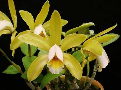 Cattleya forbesii var. aurea